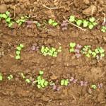 Cotylédons de verdure asiatique - famille des Brassicacées