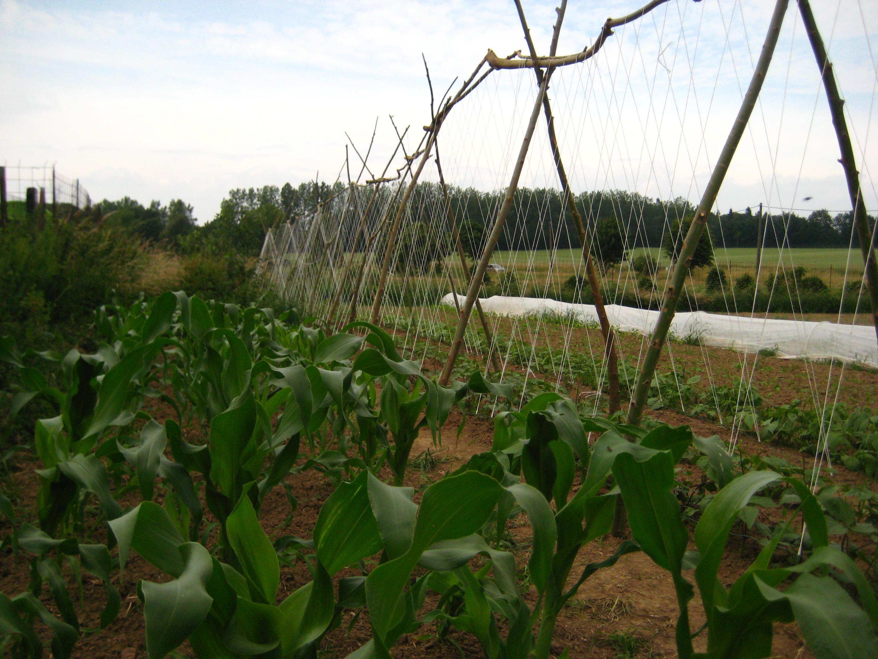 Maïs et haricot