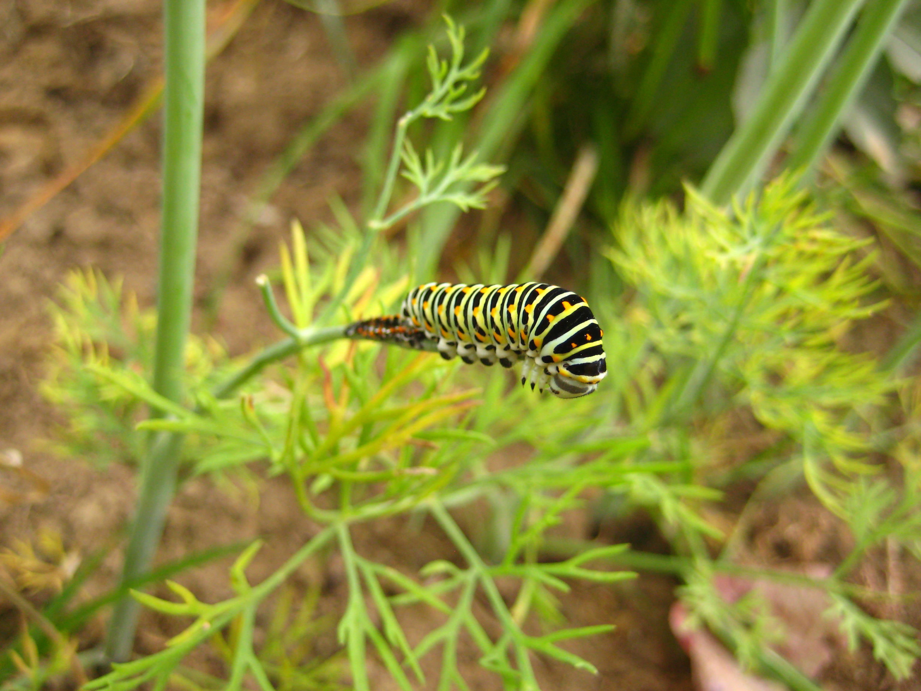 Machaon sur l'Aneth